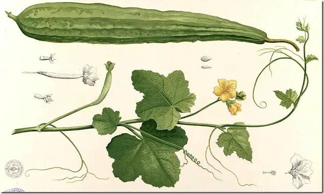 Color drawing of Wild Gourd plant illustrating friut, leaves, flowers, and vine