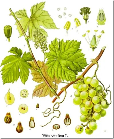 Color drawing of Grape plant illustrating the plant's components including stem, vine, leaves, fruit, and cross sections of seeds and fruit