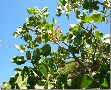 Wild Pistachio branches with visible fruit