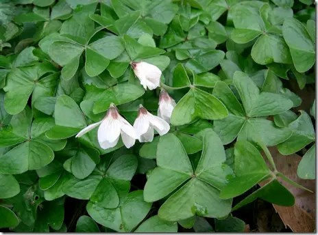 Wood Sorrel plant leaves and white flowers