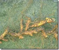 Yam root stock is edible