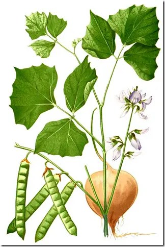 Color drawing of Yam Bean species illustrating leave, beanpods, and root