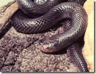 Mole viper or burrowing viper