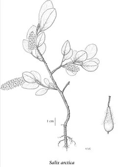 Artic Willow plant component drawing