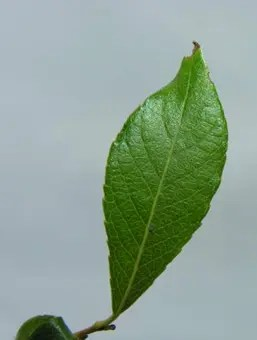 Artic Willow leaf