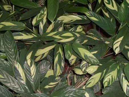 Arrowroot leaves