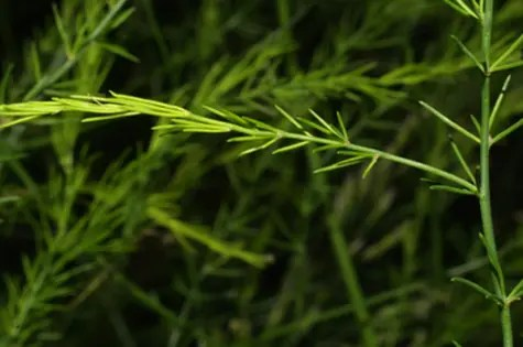 Close-up of Asparagus stems and leaves
