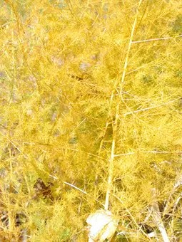 Asparagus turns yellow and brown in the fall