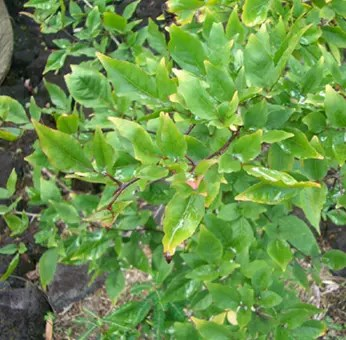 Bael Fruit foliage