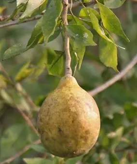 Large Bael Fruit hanging from stem