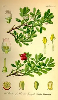 Bearberry drawing showing the various plant components