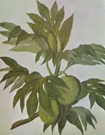 Drawing of a Breadfruit