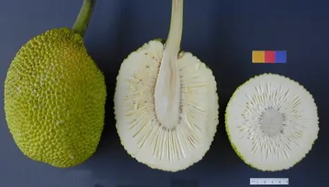 Sections of a Breadfruit - whole, crosscut, and lenghwise cut