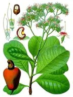 Color drawing of a Cashew Tree showing the various components