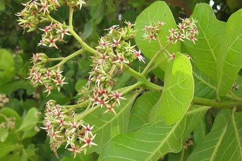 Flowers on a Cashew Tree