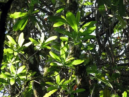 Wild Cashew Tree - note the similarity in leaf structure to the regular Cashew tree