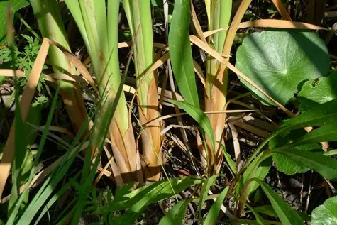 Close-up of Cattail plant ground level