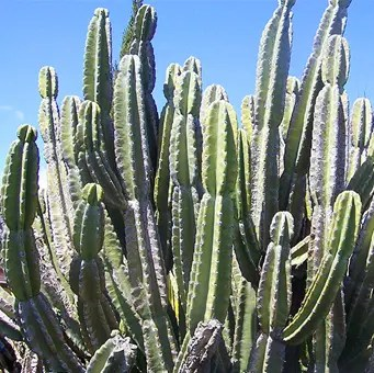 Cereus Cactus in the wild