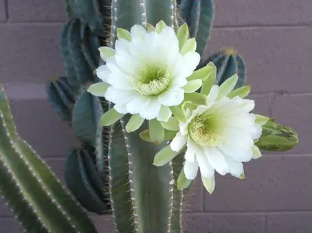 Flowers of the Cereus Cactus