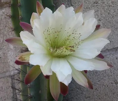 Close-up of a Cereus Cactus white flower