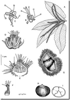 Drawing of Chestnut and its components