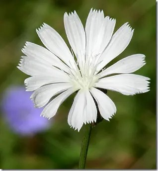 Close-up of Chicory white flower (not as common)