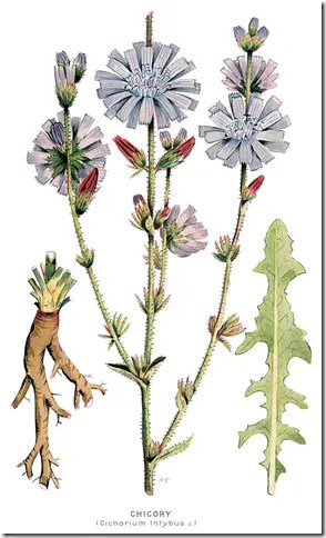 Color drawing of Chicory plant and its components