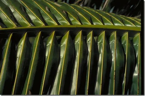 Close-up of Coconut tree leaves