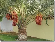 Date palm with heavy bunch of seeds