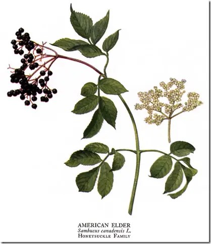 Drawing of Elderberry plant showing berries, leaves, branches, and flowers