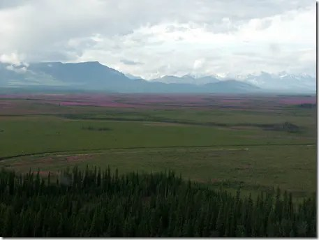 Distant view of Fireweed covering the land