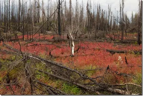 Fireweed after a recent forest fire