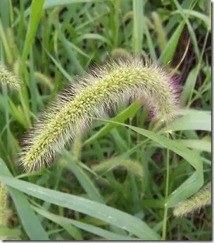 Heavy, drooping Foxtail grass grain