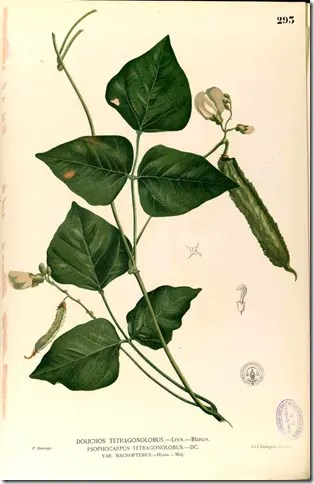 Color drawing of Goa Bean plant