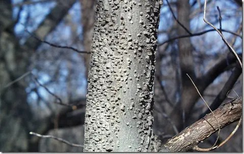 Hackberry tree bark