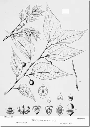 Drawing of Hackberry tree illustrating its components
