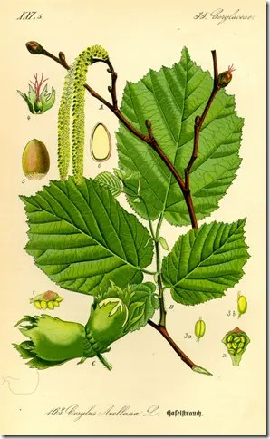 Color drawing of Hazelnut bush illustrating its various components