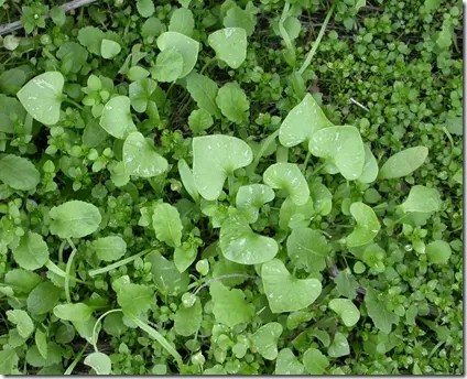 Miner's Lettuce in the wild