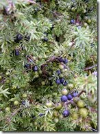 Juniper berries on tree