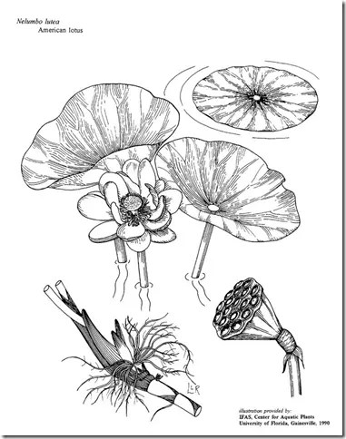 Drawing of Lotus plant showing its components