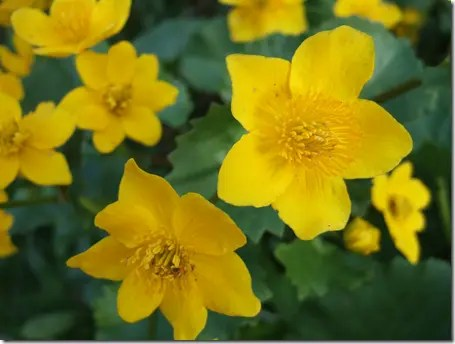 The yellow flowers of the Marsh marigold