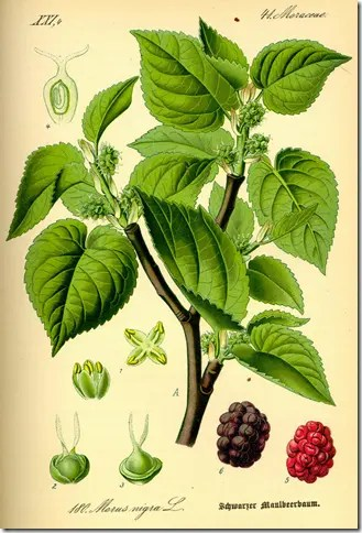 Color Mulberry drawing illustrating the branches, leaves, and fruit