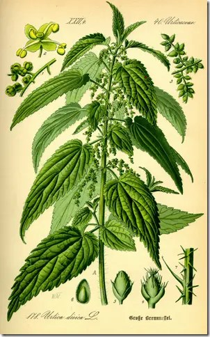 Color drawing illustrationg a Nettle plant and its components