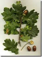 Oak tree leaves and acorns