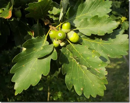 Acorns on a Oak tree