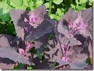 Garden Orach can be reddish in color