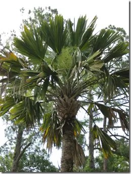 Sabal Palmetto palm tree