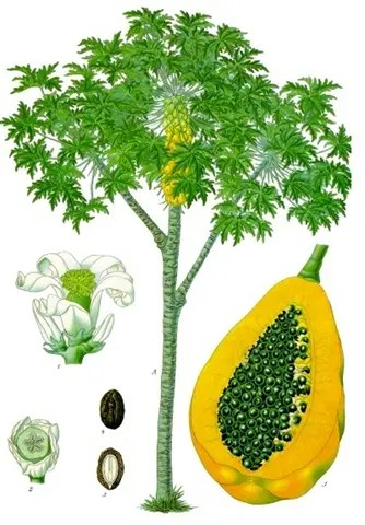 Color drawing of a Papaya plant showing the tree, flowers, seeds, and cross section of the fruit