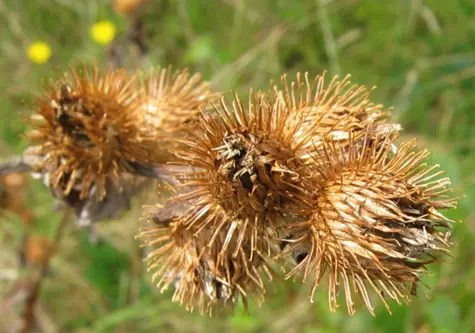 Dried Burdock leaves