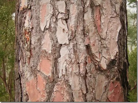 Close up of Pine tree bark